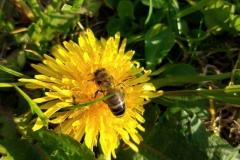 pszczoła11